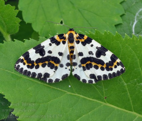 The Abraxis Grossulataria, a moth native to North America. (Photo Credit)